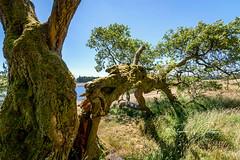 _DSC.0041- Split Personali-tree (SWJuk) Tags: worsthorne england unitedkingdom swjuk uk gb britain lancashire burnley home hurstwood hurstwoodreservoir reservoir tree split closeup leaves foliage pov wideangle 2018 jun2018 summer nikon d7100 nikond7100 tokina1116mm rawnef lightroomclassiccc bluesky landscape countryside scenery