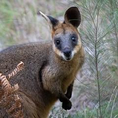 A surprise visitor! (Allieca Paterson) Tags: bestofaustralia fauna kangaroo wildlife wallaby noosanorthshore noosa queensland australia
