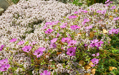 Alpine Flowers (Adam Swaine) Tags: emmetts emmettsgdns nationaltrust nature gardens kent flora flowers alpine england english britain british canon naturelovers macro uk ukcounties summer petals 2018 kentweald