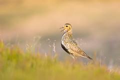 Plover on the Edge (www.andystuthridgenatureimages.co.uk) Tags: golden plover call calling heather moor moorland peakdistrict wader summer