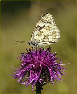 Female Marbled White nectaring on Knapweed