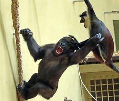 western lowlandgorilla yanga and Dianamonkey artis JN6A9829 (j.a.kok) Tags: dianameerkat monkey mensaap gorilla westelijkelaaglandgorilla westernlowlandgorilla lowlandgorilla laaglandgorilla yanga dianamonkey artis aap ape mammal meerkat primate primaat afrika africa zoogdier dier