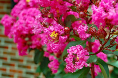 Pink Crape Myrtle In Bloom.