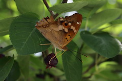 IMG_4234 (ryorii) Tags: butterfly farfalla farfalle papillon provence france francia provenza pontdugard fruit frutto fruits frutti leaves foglie foglia
