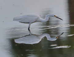 07-10-18-0026729 (Lake Worth) Tags: animal animals bird birds birdwatcher everglades southflorida feathers florida nature outdoor outdoors waterbirds wetlands wildlife wings