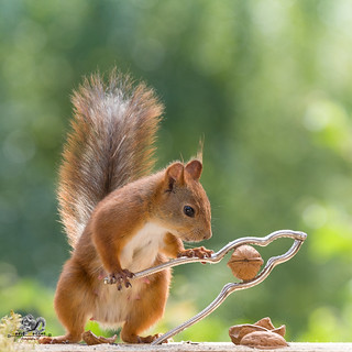 red squirrel is cracking a walnut