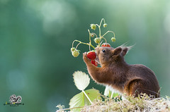 red squirrel is eating a strawberry (Geert Weggen) Tags: outdoors picnic strawberry animalwildlife animalsinthewild autumn day dinner eating eurasianredsquirrel food foodanddrink fruit grass healthylifestyle horizontal meal nopeople old photography smelling speed squirrel summer sweden tasting woodland working sweet plant taste red eat geert bispgården jämtland weggen ragunda