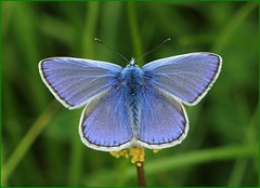 Male Common Blue basking - Rodborough Common (glostopcat) Tags: commonbluebutterfly butterfly insect invertebrate glos macro june summer nationaltrust stroud rodboroughcommon