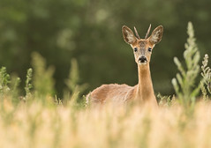 Roe Deer buck (Wouter's Wildlife Photography) Tags: roedeer deer animal mammal nature naturephotography wildlife wildlifephotography capreoluscapreolus buck male billund grass rådyr
