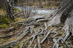 2018_05_19_NorthShore_5D_7259 (AbovetheLineEntertainment) Tags: canon5d canon5dmarkiv northshore minnesota mn schroeder temperanceriverstatepark temperance statepark tree river roots