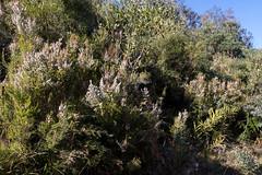 Portuguese Heath (Erica lusitanica) - habit ([S u m m i t] s c a p e) Tags: ericalusitanica portugueseheath spanishheath nativeplants pink weeds white winter ericaceae