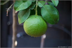 sarawak.maxima@citrus.it (Rinaldofr) Tags: canon6dmkii helios44m5 citrus maxima fruit pomelo green nature closeup