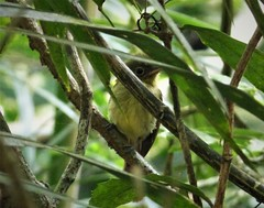 Olivaceous Flatbill Rhynchocyclus olivaceus
