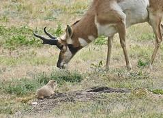 """Do you think humans can actually THINK?"" (evakatharina12) Tags: prairie dog antelope pronghorn animal plains usa southdakota midwest windcave nationalpark outdoor summer"