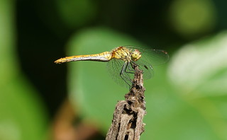 Ruddy Darter (female)