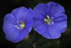 Blue Flax 6 (karl_eschenbach) Tags: blue flowers wildflowers nature macro newmexico nm southwest sw albuquerque