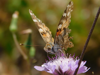 Butterfly with torn wings