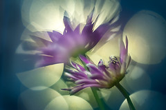 Crazy flowers (bresciano.carla) Tags: helios442 sonyilce6300 vintagelens flowers m42 manualfocus
