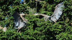 Great Blue Heron Scuffle (Sandy Paiement) Tags: greatblueheron ardeaherodias