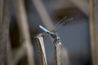 dragonfly-macro_3