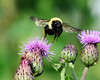 Flight of the Bumblebee (laurie.mccarty) Tags: bumblebee insect bokeh bee macro outdoor wildlife