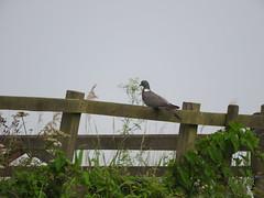 Wood Pigeon, Burwell Fen (andyh866) Tags: cambridgeshire burwellfen