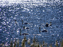 Schwanentanz im silbernen See (ingrid eulenfan) Tags: rügen insel see schwan wreechenersee bucht wasser mecklenburgvorpommern wreechen sonyalpha6000 16300mm
