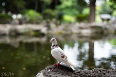 The Humble Pigeon (D. R. Hill Photography) Tags: pigeon bird wild wildlife taipei taiwan depthoffield bokeh lake park nikon nikond750 d750 voigtlander voigtlandernokton58mmf14 nokton cosina 58mm primelens fixedfocallength manualfocus
