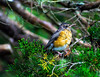 The Big Day (WB.Photography) Tags: smcpentaxa70210mmf4 smcpentaxa702104 smcpentaxa70210f4 smc pentaxa 70210mm f4 pentax bird robin nest