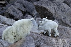 Mom, You're Embarrassing Me (GalaxyFan (Bighorn Photography)) Tags: mountevans mountaingoat mountevanswildlife mountevanscolorado colorado coloradowildlife coloradophotography coloradowildlifephotography wildlife wildlifephotography wildanimal awesomeshot anawesomeshot canon7d canon canon100400mmf4556isl canoncamera canonlenses canoneos7d canoneos canongallery canonextreme canonusa
