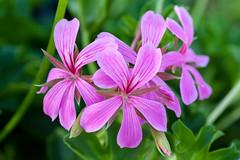 (taleuxeric) Tags: fleurs floral fleur flowers macrophoto macrophotography rose