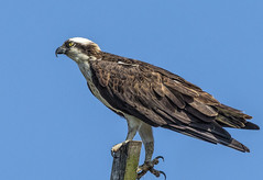 Osprey, one of nature's best fisherman! (stevebfotos) Tags: osprey birds predators birdsofprey delaware lewes