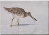 Lesser Yellowlegs (Betty Vlasiu) Tags: lesser yellowlegs tringa flavipes bird nature wildlife florida st pete beach