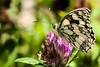169-365  #nikonpassion365 (bebopeloula) Tags: nikonpassion365 photorobertcrosnier 2018 365 89 bourgogne europe faune france nikond700 tonnerre yonne animaux couleurs extérieur fleur insecte invertébrés macro papillon sauvage trèfle