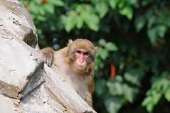 Staring monkey(見つめるサル) (daigo harada(原田 大吾)) Tags: monkey sight inokashira natural zoo