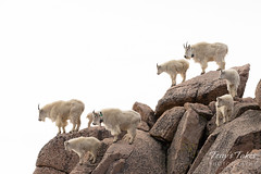 The Mountain Goat herd hanging out on high