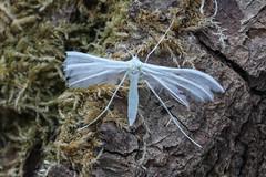 white plume (colin 1957) Tags: plume moth trap