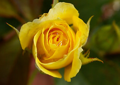 tiny yellow rose (Liouxsie) Tags: yellow rose sl1