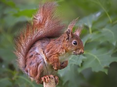A red squirrel (Roland B43) Tags: redsquirrel forest beisbroek
