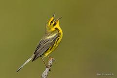 """I'm so happy..."" (Earl Reinink) Tags: outside outdoors capecod earl reinink earlreinink bird animal nature songbird warbler sing singing happy prairiewarbler tdzddtrdza"