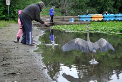 DSC_3348_002 (wfung99_2000) Tags: great blue heron fisherman deerlake lake water lily stealing fish burnaby britishcolumbia