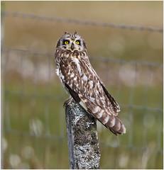 Getting anxious  (there was raptor flying overhead) (Antony Ward) Tags: shortearedowl wildbird wildowls outerhebrides northuist