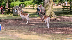 Bradgate Country Park 1st July 2018 (boddle (Steve Hart)) Tags: bradgate country park 1st july 2018 steve hart boddle steven bruce wyke road wyken coventry united kingdon england great britain canon 5d mk4 6d 100400mm is usm ii newtownlinford unitedkingdom gb 85mm f14 prime wild wilds wildlife life nature natural bird birds flowers flower fungii fungus insect insects spiders butterfly moth butterflies moths creepy crawley winter spring summer autumn seasons sunset weather sun sky cloud clouds panoramic landscape