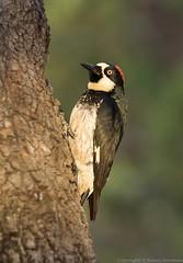 Acorn Woodpecker (N2NATURE PHOTOGRAPHY) Tags: acorn woodpecker ft davis mountains