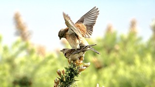 Mating Linnets-
