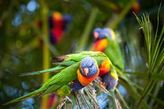 flying colours (Rafael Zenon Wagner) Tags: vogel bunt palme grün bird colored palm green dof bokeh nature natur australia australien queensland