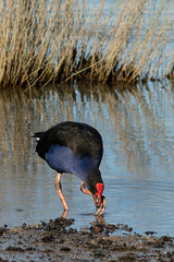 20180704_1749_7D2-400 Pukeko #1 (johnstewartnz) Tags: 400mm 400 bird birds birdsfeeding pukeko swamphen australasianswamphen porphyriomelanotus canon canonapsc apsc eos 7d2 7dmarkii 7d canon7dmarkii canoneos7dmkii canoneos7dmarkii