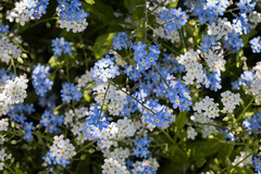 Forget me not (MR@tter) Tags: blumen vergismeinnicht remembrance flower flowers forgetmenot canonef100mm canonef100mmf28macrousm myosotis natur mother blue white