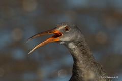 Big mouth.. (Earl Reinink) Tags: mouth head ugly bird animal portrait beak earlreinink earl reinink nikon zhaaouodza rail clapperrail