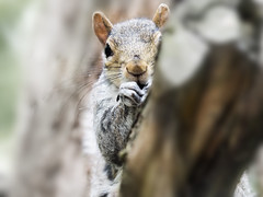 I'm the squirrels whiskers (peggy wein) Tags: staring eyes fur whiskers tree squirrel